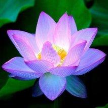 lotus-fleur